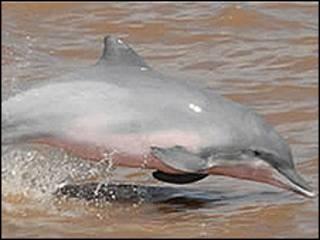 Delfín del Amazonas. Foto: Fundación Omacha