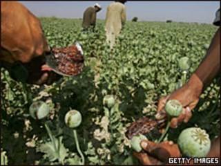 Plantación de amapolas en Afganistán