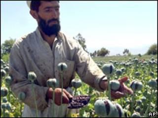 بته های خشخاش در افغانستان