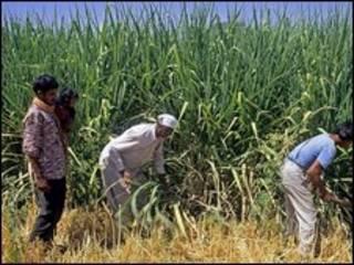Cultivo de azúcar en India