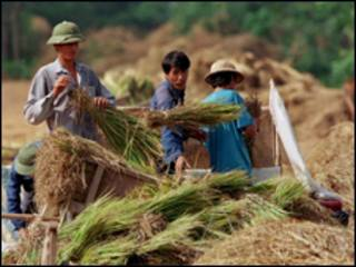 Cảnh gặt lúa ở Bắc Bộ