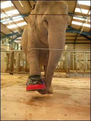 A elefanta 'Gay' no zoológico de Paignton
