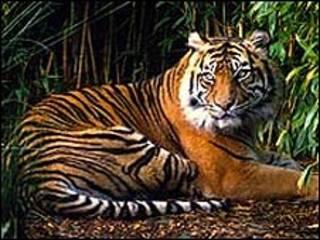 Tigre de Sumatra (Foto: WWF)