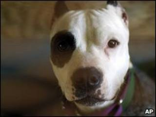 Pitbull terrier (arquivo)