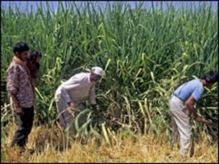 गन्ने के खेत