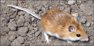 Rato veadeiro (Peromyscus maniculatus)