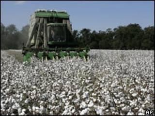 Campo de algodón en EE.UU.