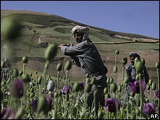 Campesinos afganos en una plantación de amapola