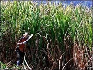 Cultivo de azúcar en Cuba