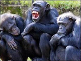 شمبانزي