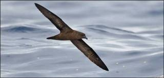 Petrel de Fiji. Foto: H. Shirihai/ The Tubenoses Project
