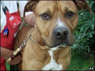 Cão da raça Staffordshire Terrier (AP, arquivo)