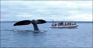Avistaje de ballena en Puerto Madryn, Argentina. Autor: Alberto Patrian.