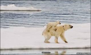 Filhote de urso polar nas costas da mãe (Foto: Angela Plumb)
