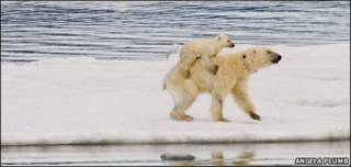 Osos polares. Foto: Angela Plumb