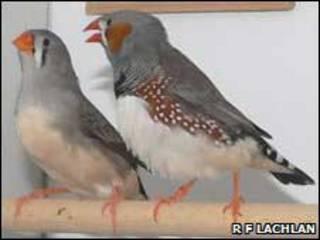 """زوجان من طير  """"الحسون"""""""