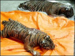 Hai con hổ đông lạnh bị cảnh sát môi trường và công an Hà Nội thu giữ