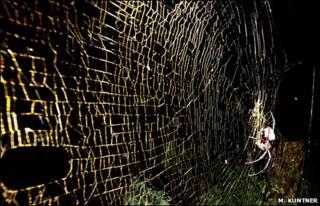 паук Nephila komaci
