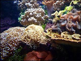 मूंगा चट्टानें