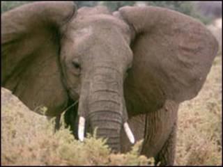 فيل أفريقي