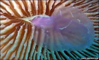 Coral devorando água-viva
