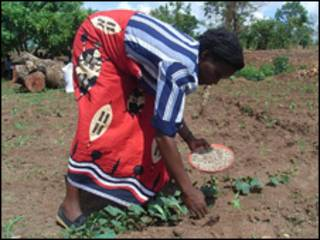 Cosecha en Malawi