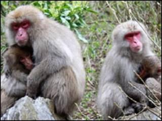 Macacos. Foto: Masayuki Nakamichi