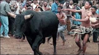 Jovens zulus cercam touro (arquivo)