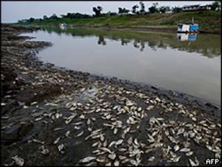 Peixes em leito seco do rio Solimões