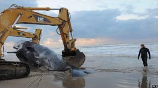 Escavadeira remove baleia morta na Itália