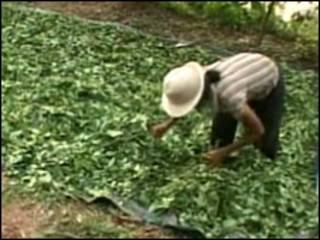 Cosecha de coca en Perú