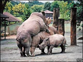 Rinocerontes blancos el sur.