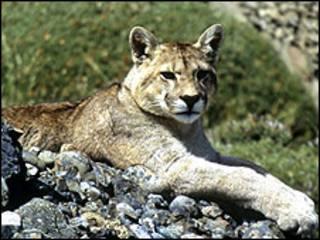 Leão-da-montanha (Foto: Arquivo)