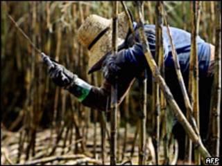 Mujer corta caña de azúcar en plantación de Cosan