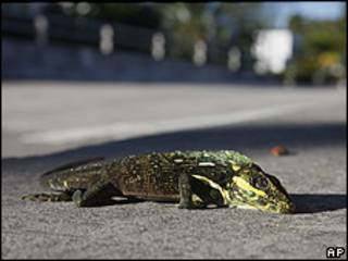 Iguana caída de un árbol en Florida