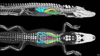 Agua tintada con sustancias fluorescentes en el interior de un caimán