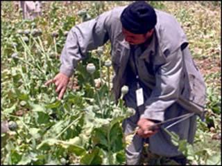 مزارع خشخاش در افغانستان