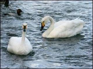 Cisnes chicos en Slimbridge