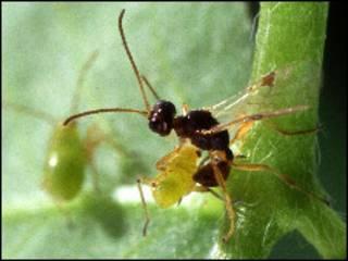 Avispa parasitaria