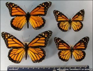 Diferencias de tamaño de mariposas monarca