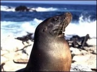 Leões-marinhos em Galápagos (arquivo)