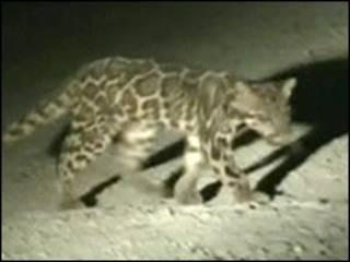 Leopardo nebuloso de Sundaland (Foto: A Wilting/A Mohamed/Cat News)