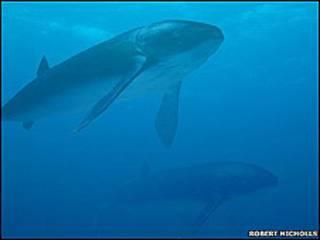 Leedsichthys (Foto: Robert Nicholls)