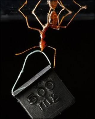 एशिन वीवर चींटी