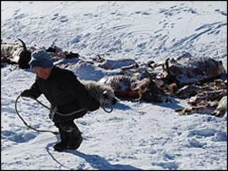 Последствия морозов в Монголии