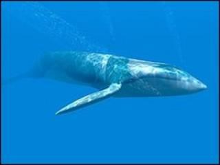 Baleia Azul (arquivo)