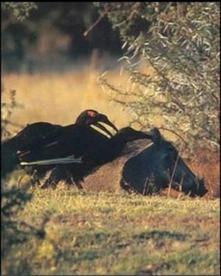 نوک شیپوری درحال تمیز کردن گراز آفریقایی