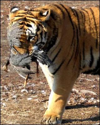 Амурский тигр с курицей в зубах