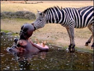 Зебра и бегемот