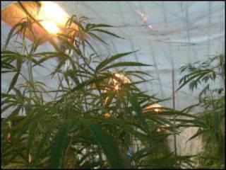 Konferensi marijuana Kanada